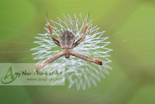 Unidentified Araneidae
