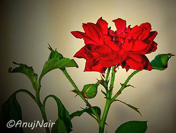 The Rose I Watered In My Heart is a poem written by Anuj Nair. It is a Picture poem / Photo poem.