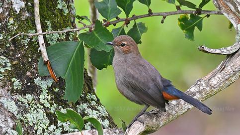 Indian Robin (Female)