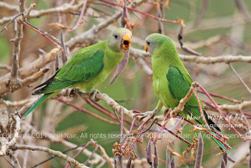 Plum-headed Parakeet- Juvenile