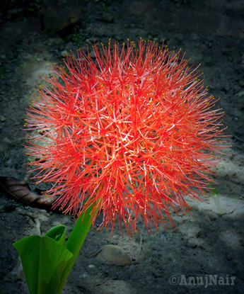 Blood Lily / Ball Lily / May flower