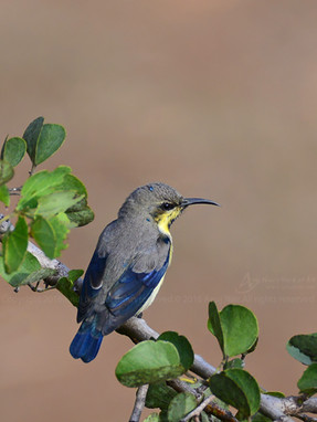 Purple Sunbird (Eclipse Male)