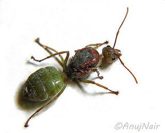 Queen Ant is a poem written by Anuj Nair. It is a Picture poem / Photo poem.