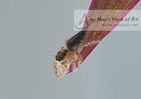 Hyllus semicupreus-Female