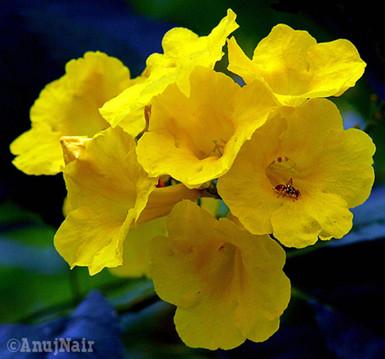 Yellow bells / Yellow trumpet flower