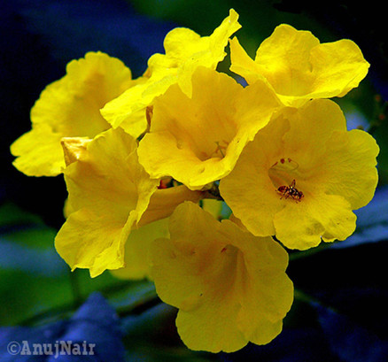 Yellow bells / Yellow trumpet flower