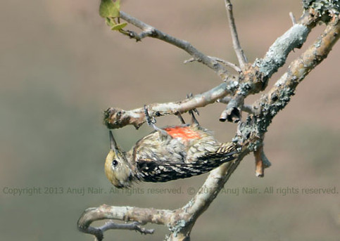 Yellow-crowned Woodpecker (Female)