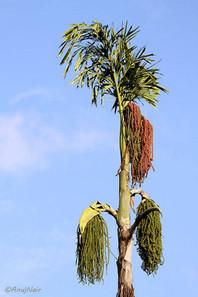 Fishtail Palm / Jaggery Palm / Toddy Palm / Wine Palm