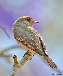 Brown-streaked Flycatcher