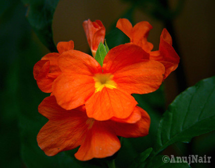 Crossandra / Firecracker flower