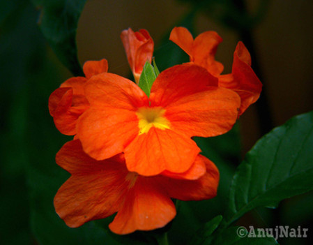 Crossandra / Firecracker flower