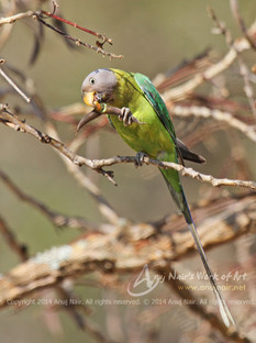 Plum-headed Parakeet (Female)