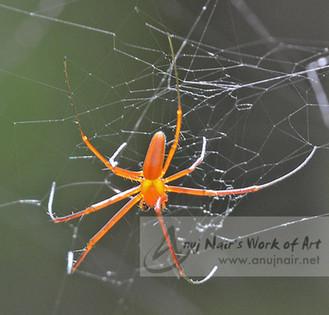 Nephila-Male