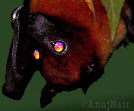 Indian Flying Fox / Giant Indian Fruit Bat