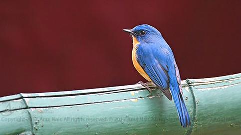 Tickell's Blue Flycatcher (Male)