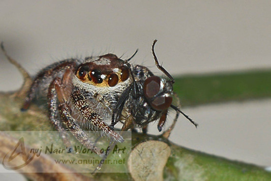Hyllus semicupreus with prey