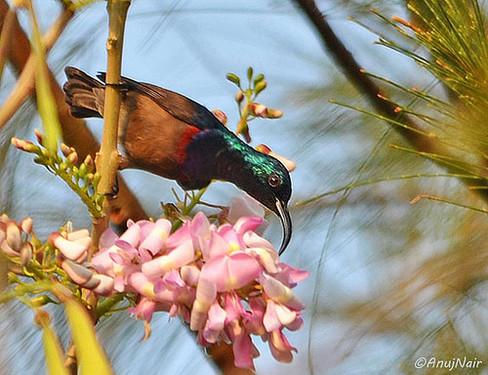 Loten's Sunbird (Male)