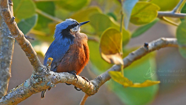 Indian Nuthatch (Male)