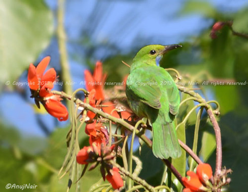 Jerdon's Leafbird (Female)