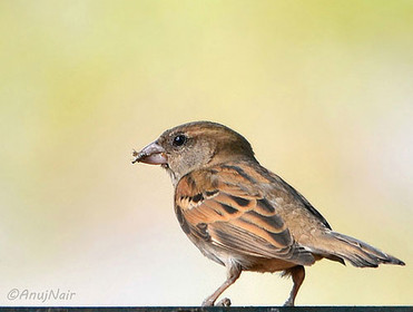 House sparrow ( Female )