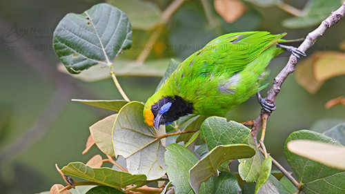 Golden-fronted Leafbird ( Male )