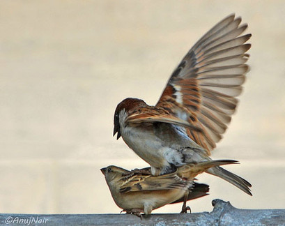 House Sparrow- Mating
