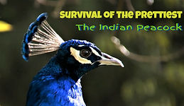 The Indian Peacock