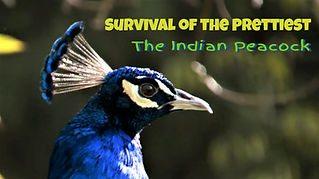 Still from the documentary Survival of the prettiest-The Indian Peacock.
