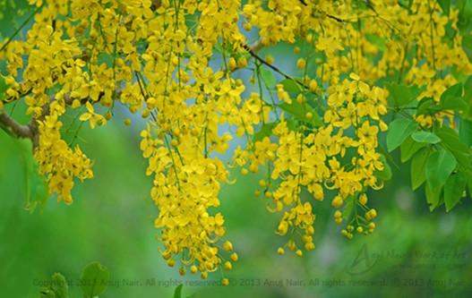 Goldenshower tree