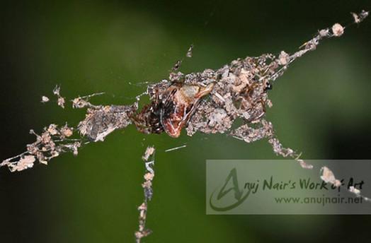 Arachnura angura
