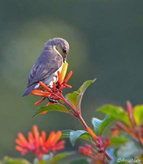 Purple-rumped Sunbird(Female)