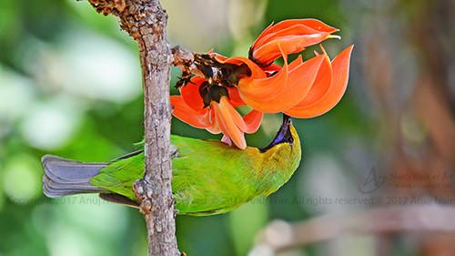 Blue-winged Leaf bird (Male)