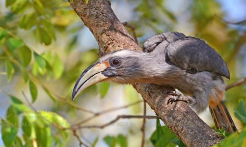 Malabar Grey Hornbill (Female)