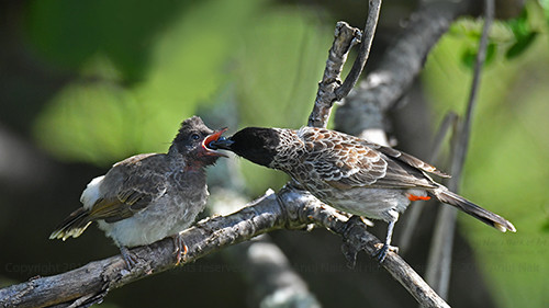 Red-vented Bulbul