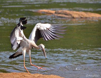Asian Openbill-Stork ( Male )