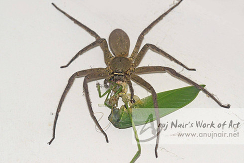 Heteropoda venatoria with prey
