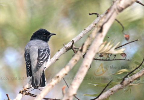 Black-headed Cuckooshrike(Male)