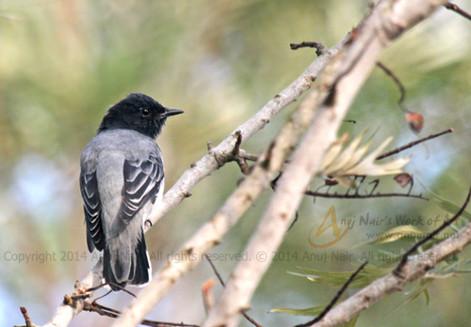Black-headed Cuckooshrike(Male)