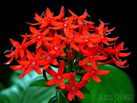 Pentas / Star flower / Star cluster