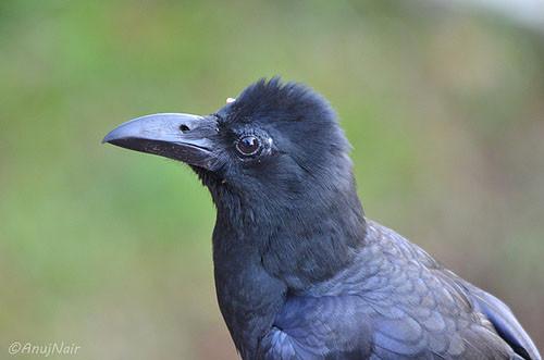 Indian Jungle Crow