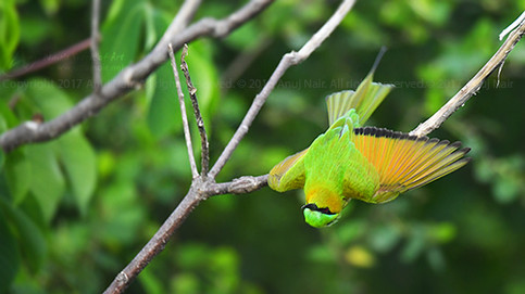 Green bee-eater / Small Bee-eater