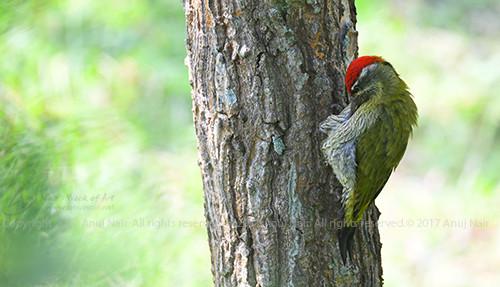 Streak-throated Woodpecker ( Male)