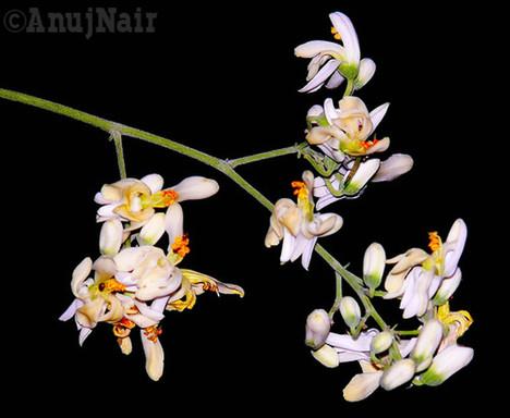 Moringa flowers