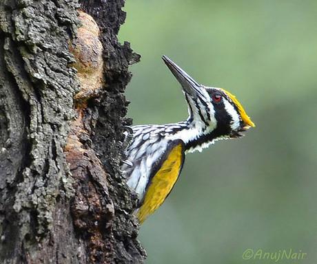 White-naped Woodpecker (Female)