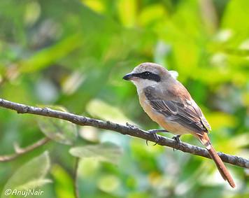 Brown Shrike (Male)