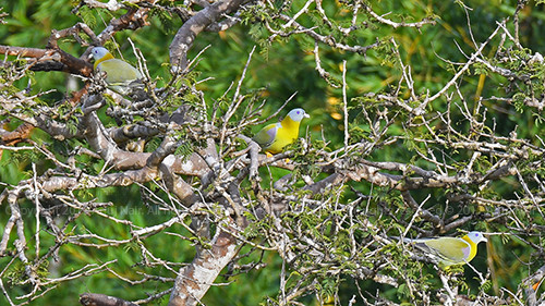 Yellow-footed Green Pigeon