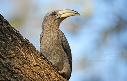 Malabar Grey Hornbill ( Female )
