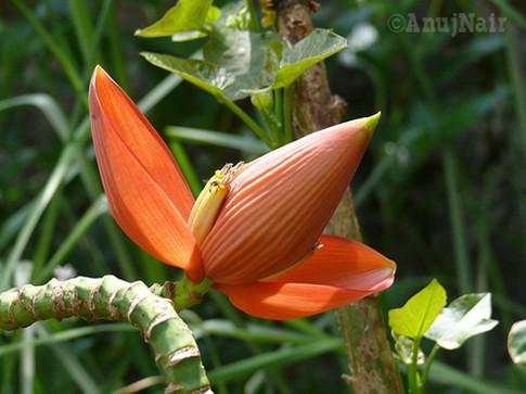 Wild Plantain