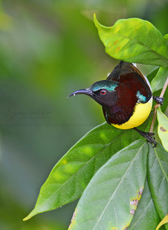 Purple-rumped Sunbird (Male )