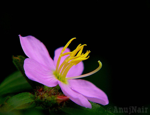 Osbeckia octandra